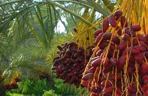 Как вырастить финиковую пальму из косточки - фото
