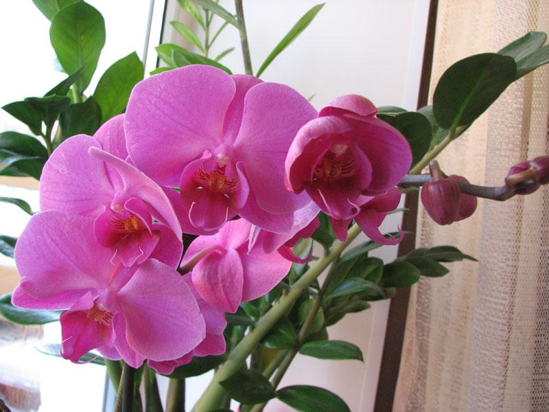 Как заставить цвести фаленопсис (фото)