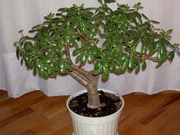 Как пересаживать денежное дерево правильно в домашних условиях