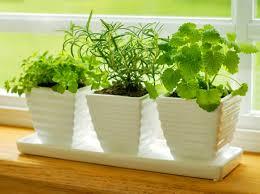 Как вырастить зелень на подоконнике правильно