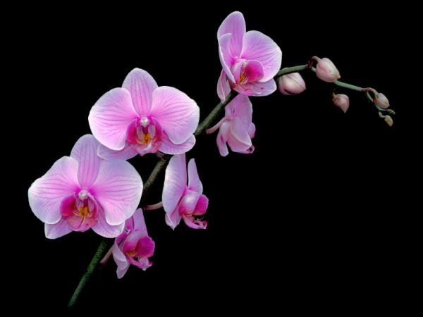 фото - Как заставить цвести фаленопсис самостоятельно