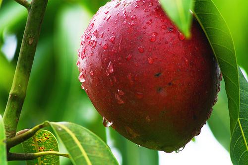 Как вырастить манго - ФОТО